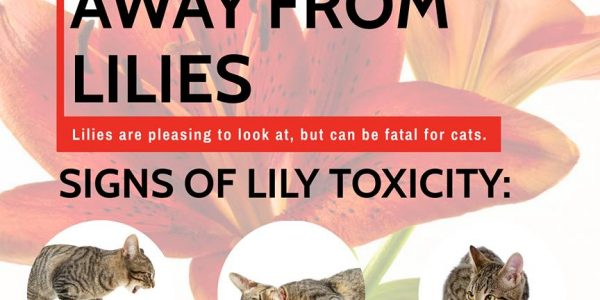 Keep your Cat Away from Lilies!